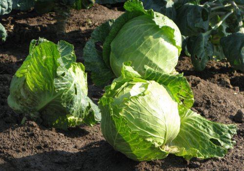 Все о выращивании капусты. Что надо знать 95