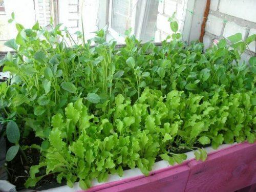 Как вырастить в домашних условиях зелень