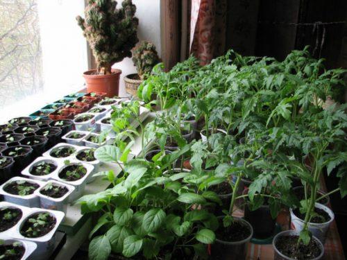 Инструкция по выращиванию рассады томатов