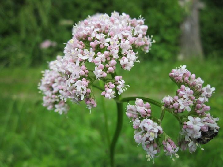 растения, которые уменьшают беспокойство фото 3