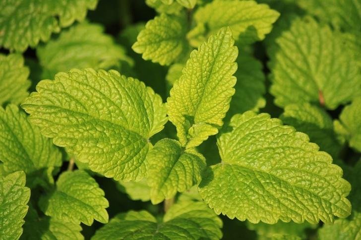 растения, которые уменьшают беспокойство фото 5