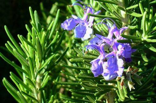 Запах розмарина улучшает способность к запоминанию
