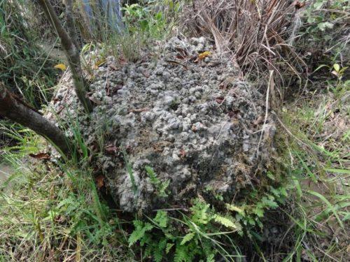 Суралес могут достигать в диаметре более 5 метров, а их высота иногда составляет 2 метра