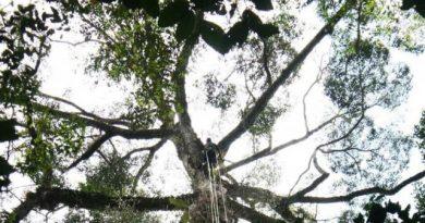 Самое высокое в мире тропическое дерево произрастает в Малайзии