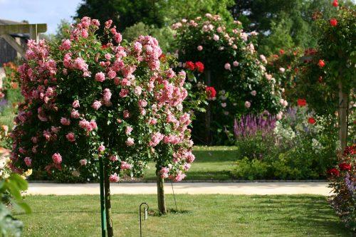 rosebush 1164544 1280
