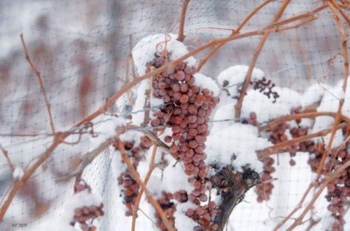 Виноград зимой.