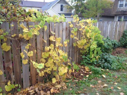 2 Осенняя подготовка винограда к укрытию.