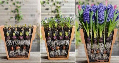 Цветовод посадила луковичные цветы необычным способом