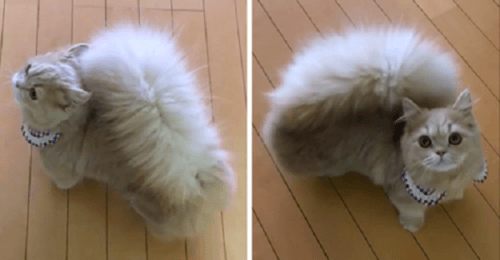 Кошка с хвостом Белки