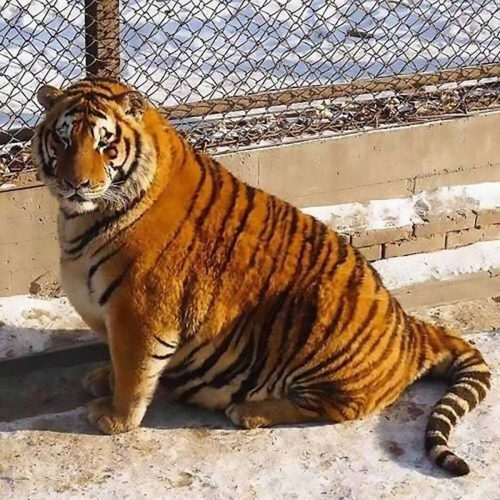 Китайцы закормили амурских тигров
