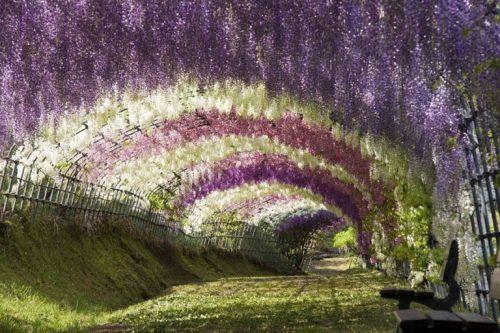 Сюрреалистический тоннель из глициний