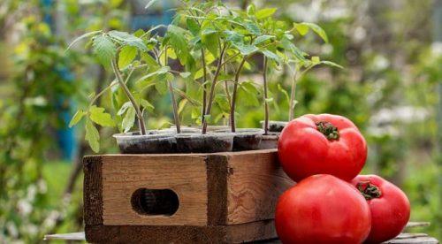 Растим здоровую рассаду помидоров в домашних условиях