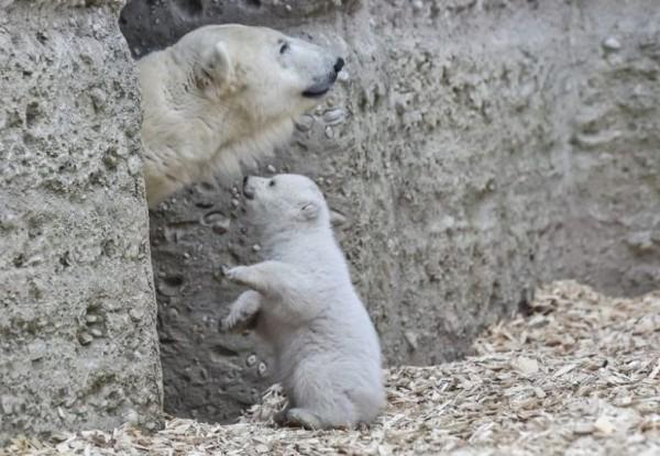 Первые шаги белого медвежонка