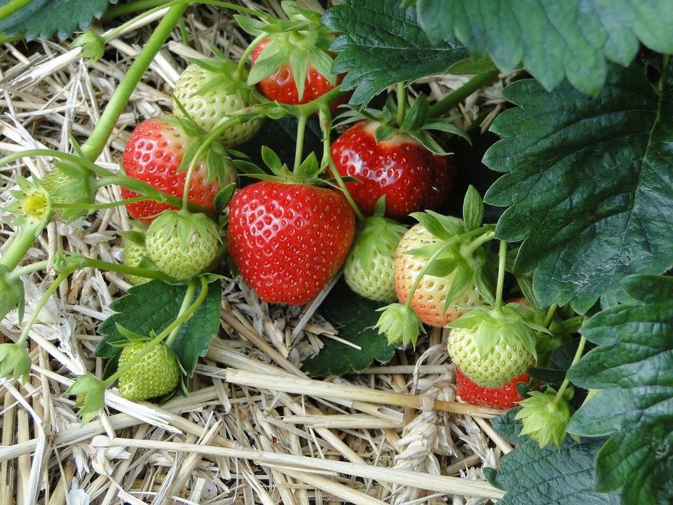 strawberries 19