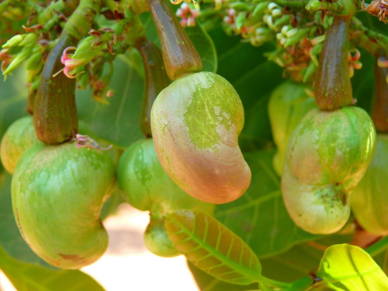 Орехи кешью – полезная экзотика