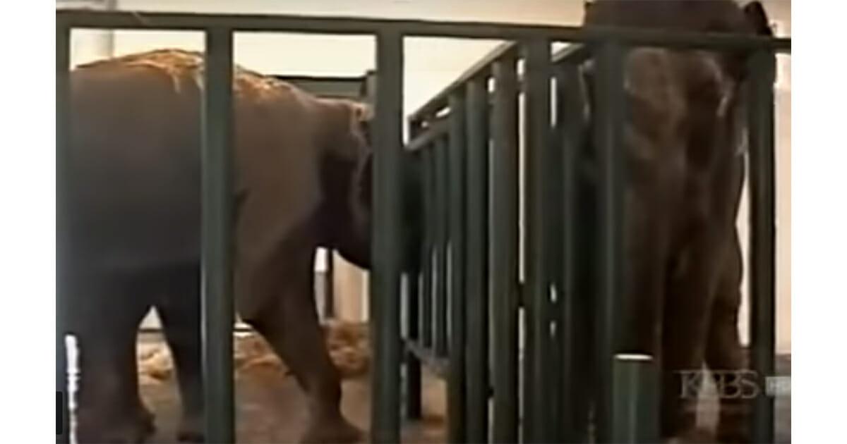 Бывшие цирковые слоны не виделись 22 года, камера ловит феноменальный момент, когда они вновь воссоединяются