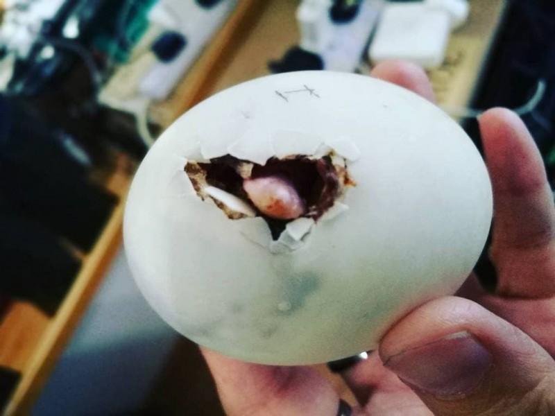 Женщина выкупила в ресторане яйцо и высидела пернатого друга, с которым теперь живёт душа в душу