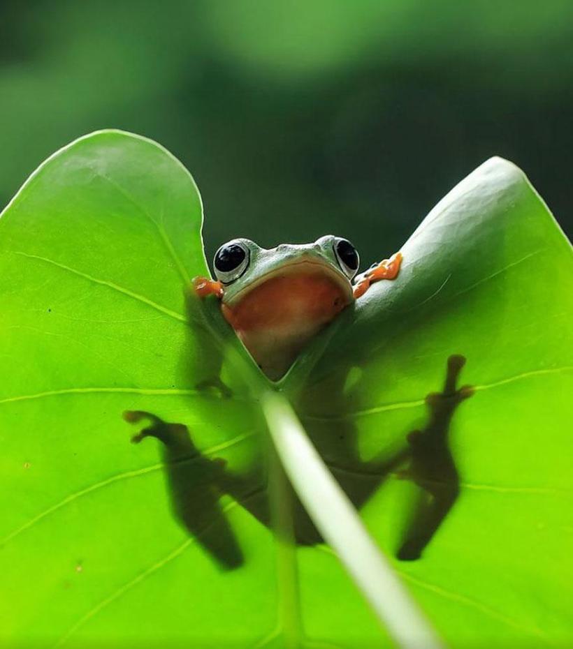 Индонезиец снимает неожиданные грани обычных лягушек (20 фото)