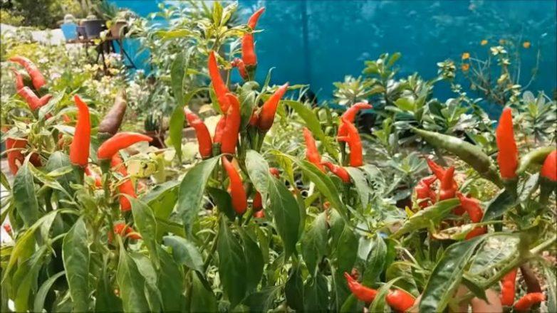 Выращиваем дома острые перчики «Чили»