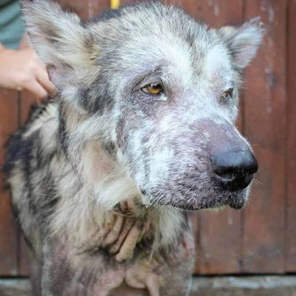 jetogo bolnogo i istoshhjonnogo psa zabrali ot neradivyh hozjaev i teper ego shubke mozhno pozavidovat