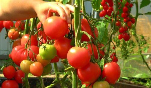 jeffektivnaja podkormka tomatov blagodarja kotoroj plodov zavjazhetsja v 10 raz bolshe