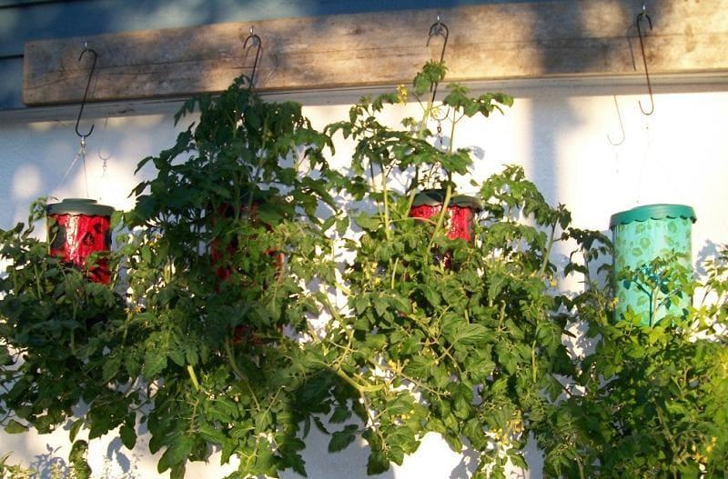 Как посадить помидоры вниз головой?