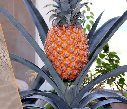 ananas na vashem podokonnike jeto realno