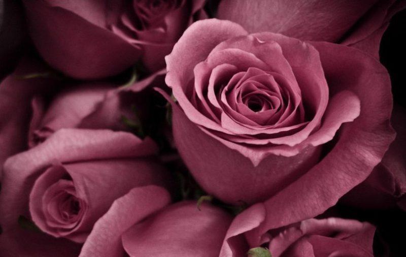 kashemirovaja roza v vashem garderobe. cvet nezhnosti i utonchjonnosti