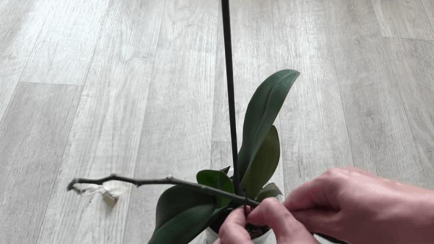 otlichnyj sposob razmnozhenija orhidej ne trebujushhij ispolzovanija citokininovoj pasty
