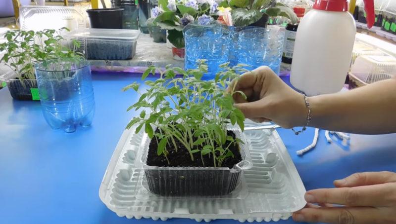super metod vyrashhivanija tomatov. rassada rastet v 2 raza bystree